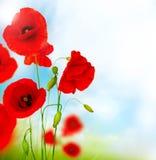 κόκκινο παπαρουνών λουλουδιών Στοκ Εικόνες