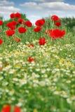 κόκκινο παπαρουνών λουλουδιών Στοκ Εικόνα