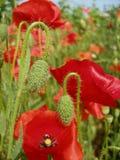 κόκκινο παπαρουνών πεδίων στοκ φωτογραφία με δικαίωμα ελεύθερης χρήσης