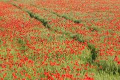 κόκκινο παπαρουνών πεδίων  στοκ εικόνες με δικαίωμα ελεύθερης χρήσης