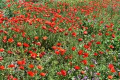κόκκινο παπαρουνών πεδίων Στοκ Φωτογραφίες