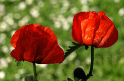 κόκκινο παπαρουνών στοκ εικόνες με δικαίωμα ελεύθερης χρήσης