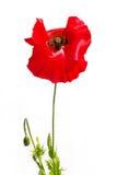 κόκκινο παπαρουνών Στοκ Φωτογραφίες