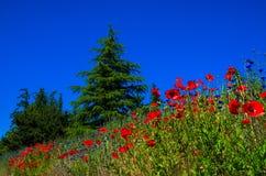 κόκκινο παπαρουνών στοκ φωτογραφίες με δικαίωμα ελεύθερης χρήσης