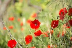 κόκκινο παπαρουνών Στοκ φωτογραφία με δικαίωμα ελεύθερης χρήσης