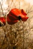 κόκκινο παπαρουνών Στοκ Εικόνα