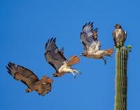 Κόκκινο παρακολουθημένο γεράκι που πετά από έναν κάκτο Saguaro στοκ εικόνα