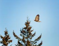 Κόκκινο παρακολουθημένο γεράκι που πετά κοντά ενάντια στο σκηνικό των δέντρων και του μπλε ουρανού στοκ φωτογραφίες