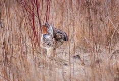 Κόκκινο παρακολουθημένο γεράκι σε ένα λιβάδι μετά από ένα επιτυχές κυνήγι στοκ φωτογραφία με δικαίωμα ελεύθερης χρήσης