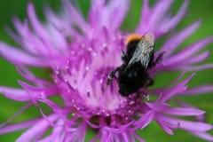 Κόκκινο παρακολουθημένο Bumblebee Στοκ Φωτογραφία