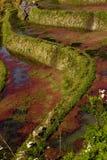 κόκκινο πεδίων αλγών terraced Στοκ Εικόνα