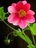 κόκκινο πετάλων λουλο&upsil Στοκ Φωτογραφία