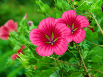 κόκκινο πετάλων λουλο&upsil Στοκ Φωτογραφίες