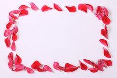 κόκκινο πετάλων λουλουδιών Στοκ Φωτογραφίες