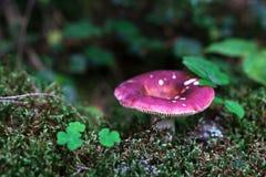 Κόκκινο πεύκο russule που αυξάνεται από το mossy χώμα Στοκ Εικόνες