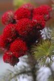 κόκκινο πεύκων Στοκ Εικόνα