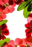 κόκκινο πλαισίων λουλουδιών Στοκ φωτογραφία με δικαίωμα ελεύθερης χρήσης