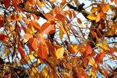 Κόκκινο πολύβλαστο φύλλωμα φθινοπώρου του κεράσι-δέντρου στο υπόβαθρο του μπλε ουρανού Στοκ εικόνες με δικαίωμα ελεύθερης χρήσης
