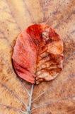 Κόκκινο πορτοκαλί φύλλωμα φθινοπώρου, κόκκινο φύλλο με τη βρώμικη σύσταση, μίσχος Στοκ εικόνα με δικαίωμα ελεύθερης χρήσης