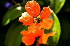 Κόκκινο πορτοκαλί hibiscus ανθίζει στον ήλιο στοκ εικόνα με δικαίωμα ελεύθερης χρήσης