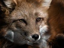 κόκκινο πορτρέτου αλεπ&omicro Στοκ εικόνες με δικαίωμα ελεύθερης χρήσης
