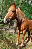 κόκκινο πορτρέτου αλόγων Στοκ Φωτογραφίες