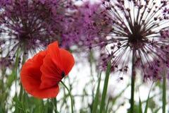 Κόκκινο πορφυρό allium λουλουδιών παπαρουνών στοκ φωτογραφία με δικαίωμα ελεύθερης χρήσης