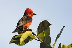 κόκκινο πουλιών Στοκ Εικόνες