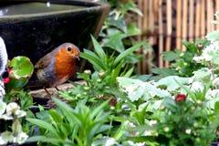 Κόκκινο πουλί στηθών της Robin με τα τρόφιμα στο ράμφος που σκαρφαλώνει στα λουλούδια Στοκ Εικόνα