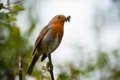 Κόκκινο πουλί του Robin που τρώει ένα έντομο Στοκ Φωτογραφία