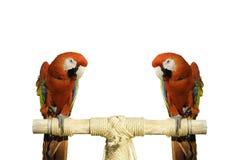 Κόκκινο πουλί όμορφο Στοκ Εικόνες