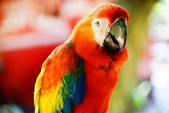 Κόκκινο πουλί Lory Στοκ εικόνα με δικαίωμα ελεύθερης χρήσης