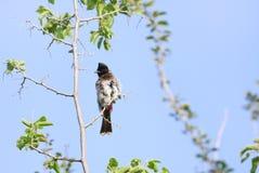 Κόκκινο που αερίζεται bulbul παρουσίαση Ruffle φτερών Στοκ φωτογραφία με δικαίωμα ελεύθερης χρήσης