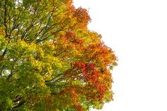 Κόκκινο πράσινο κίτρινο πορτοκάλι αλλαγής χρώματος φύλλων σφενδάμου άνοιξη στο άσπρο υπόβαθρο Στοκ εικόνα με δικαίωμα ελεύθερης χρήσης