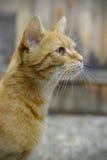 Κόκκινο προσεκτικό πορτρέτο γατών Στοκ εικόνες με δικαίωμα ελεύθερης χρήσης