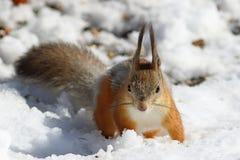 Κόκκινο πρώιμο ελατήριο σκιούρων στο χιόνι Στοκ εικόνα με δικαίωμα ελεύθερης χρήσης