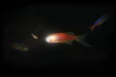 κόκκινο πυράκτωσης ψαριών Στοκ εικόνα με δικαίωμα ελεύθερης χρήσης
