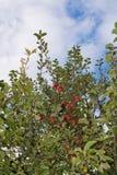 κόκκινο ρηχό δέντρο ανασκόπησης μήλων Στοκ Φωτογραφία