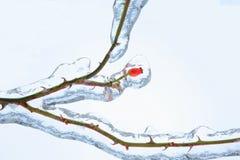 Κόκκινο ροδαλό ισχίο που καλύπτεται στον πάγο στοκ φωτογραφία με δικαίωμα ελεύθερης χρήσης