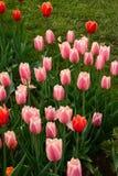 Κόκκινο ροζ βοσκής στοκ φωτογραφίες