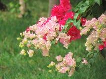 Κόκκινο, ροζ και λευκό Bougainvillea που φυτεύονται από κοινού Άνθισμα στο δέντρο Πολύχρωμο bougainvillea στον κήπο Στοκ φωτογραφίες με δικαίωμα ελεύθερης χρήσης