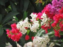 Κόκκινο, ροζ και λευκό Bougainvillea που φυτεύονται από κοινού Άνθισμα στο δέντρο Πολύχρωμο bougainvillea στον κήπο Στοκ φωτογραφία με δικαίωμα ελεύθερης χρήσης
