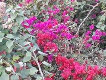 Κόκκινο & ρόδινο λουλούδι & πράσινο φύλλο Στοκ εικόνες με δικαίωμα ελεύθερης χρήσης