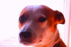 Κόκκινο σκυλί με τα μαυρισμένα μάτια στοκ εικόνες