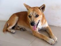 Κόκκινο σκυλί με τους μώλωπες και τα σημάδια στοκ εικόνες με δικαίωμα ελεύθερης χρήσης