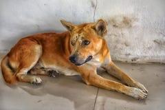 Κόκκινο σκυλί με τους μώλωπες στοκ φωτογραφίες