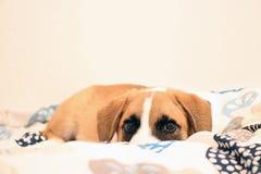 Κόκκινο σκυλί στο κρεβάτι Στοκ εικόνα με δικαίωμα ελεύθερης χρήσης