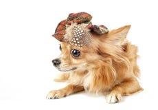 Κόκκινο σκυλί Chihuahua που φορά το καπέλο ταρτάν Στοκ Εικόνες