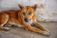 Κόκκινο σκυλί με τους μώλωπες και τα σημάδια στοκ φωτογραφία με δικαίωμα ελεύθερης χρήσης