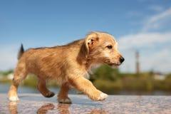Κόκκινο σκυλί περπατήματος στοκ εικόνα